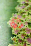 Maple Leaf Geranium Royalty Free Stock Photo
