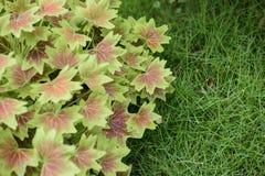 Maple Leaf Geranium Royalty Free Stock Images
