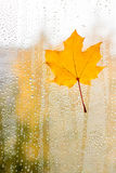 Maple leaf on glass with natural water drops Royalty Free Stock Photography