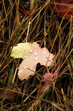Maple leaf in the grass. With rain drops Stock Photography