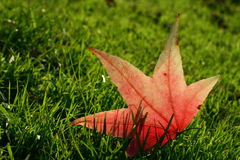Maple leaf in grass. Maple leaf felt down to the grass stock photos