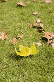 Maple leaf on grass, close-up. In autumn Stock Images