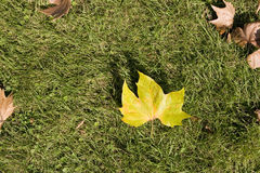 Maple leaf on grass, close-up. In autumn Stock Image