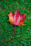 Maple leaf on grass Stock Photos