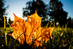 Maple leaf on grass illumited by sunrise light Royalty Free Stock Photo
