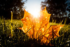 Maple leaf on grass illumited by sunrise light Royalty Free Stock Photography
