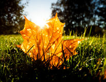 Maple leaf on grass illumited by sunrise light Stock Photos