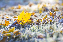 Maple leaf and grass in a sunny frost October morning Stock Photo