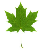 Maple leaf green bright veins on a white background Royalty Free Stock Image