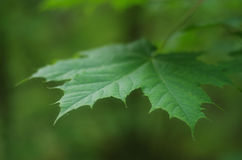 Maple Leaf. Green maple leaf focused in the nature stock image