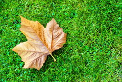 Maple leaf on green grass Royalty Free Stock Photos