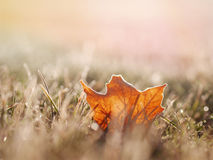 Maple Leaf on Green Grass Royalty Free Stock Images