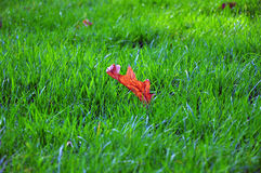 Maple Leaf on Green Grass Field Royalty Free Stock Images