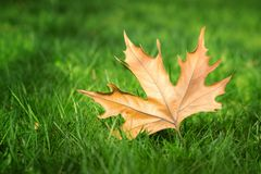 Maple leaf on green grass Stock Photos