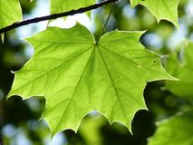 Maple Leaf, Green, Maple, Leaf Royalty Free Stock Photos