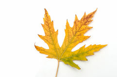 Maple leaf. green-yellow. Royalty Free Stock Photos