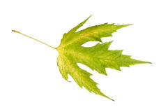 Maple leaf. green-yellow. autumn. Royalty Free Stock Images