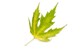 Maple leaf. green-yellow. autumn. Royalty Free Stock Photo
