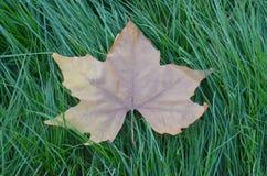 Maple leaf on a gren grass Stock Photos