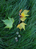 Maple leaf on a gren grass Stock Image