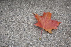 A Maple leaf on the ground. Lonely and delicate maple leaf on hard concrete Royalty Free Stock Photo