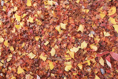 Maple Ginkgo autumn Leaves on ground Stock Photo