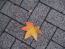 Closeup maple leaves on the ground royalty free stock photo