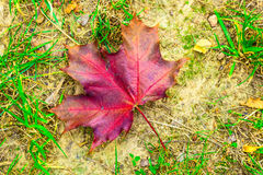 Maple Leaf on the Ground Royalty Free Stock Photos