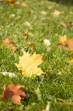 Maple leaf on ground Stock Photography