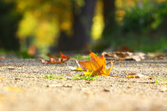 Maple leaf on the ground Royalty Free Stock Photography