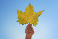 Maple leaf in a hand Stock Photography
