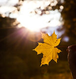 Maple leaf in hand Royalty Free Stock Photography