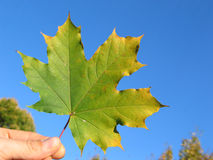 Maple leaf in hand 2 Stock Photo