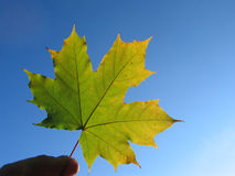 Maple leaf in hand Stock Images