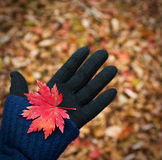 Maple leaf on the hand; Royalty Free Stock Images