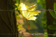 Maple leaf. Hangs in the barbed wire Royalty Free Stock Photography