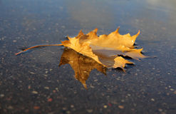 Maple leaf in his reflection Royalty Free Stock Photo