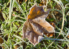 Maple leaf in hoarfrost Stock Image