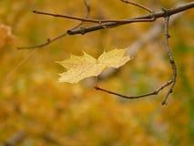 Maple_leaf foto de archivo libre de regalías