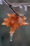 Maple Leaf with Icicle. Single Maple leaf on stem with icicles Stock Photography