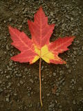 Maple leaf III. Maple leaf, easy to isolate stock photo