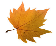 Maple leaf include hand made clipping path Royalty Free Stock Photo