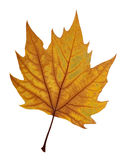 Maple leaf include hand made clipping path Royalty Free Stock Photos