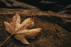 Free Maple Leaf Is Covered With Drops Of Dew On A Stone. Autumn Background. Royalty Free Stock Image - 100341656