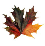 Maple leaf isolated  Royalty Free Stock Photos