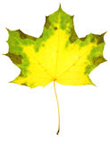 Maple leaf isolated Royalty Free Stock Photo