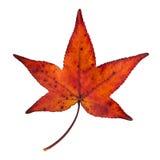 maple leaf isolated Stock Photo