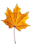 Maple leaf isolated Stock Photo