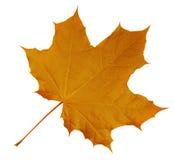Maple Leaf isolated - Orange Royalty Free Stock Photo