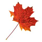 Maple-leaf isolated over white Stock Images